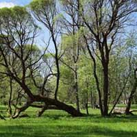 Tepat blakus aiz mīlestības priedes - guļošais koks.Arī koki nogurst.