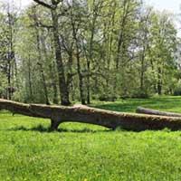 Krokodils - mazbērnu iesaukts koks pa kuru tiem patīk kāpelēt.